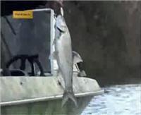 Видео «Рыбачьте с нами» — Дельта Волги. Жерех, щука, окунь, красноперка