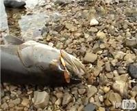 """Видео """"Диалоги о рыбалке"""" - Якутия, Тикси. Таймень"""
