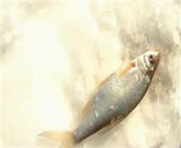 """Видео """"Сибирская рыбалка"""". Выпуск 16. Сибирский чебак"""