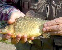 уловистые наживки для мирной рыбы